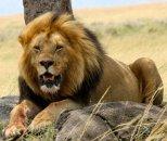 İordaniyada aslanlar veterinarı və yardımçısını parçalayıblar