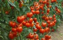 İraq da Türkiyədən pomidor idxalını dayandırdı