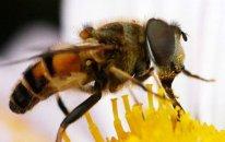 Meksikada arıların hücumu nəticəsində 20-dən çox insan xəsarət alıb