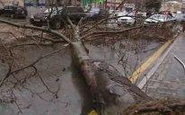 Güclü külək Bakıda ağacı aşırdı