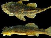 Amazoniyada yeni balıq növü aşkarlanıb