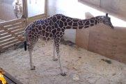 Bu görüntülər REKORD QIRDI: Zürafə öz balasını göz yaşları içində... - VİDEO
