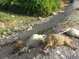 Yük maşını ilə 82 baş qoyun-quzunu öldürdü