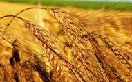 Azərbaycanda 950 min ton buğda istehsal edilib