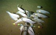 Alimlər Sakit okeanın ən dərin yerində yaşayan balıq növü aşkar ediblər – VİDEO