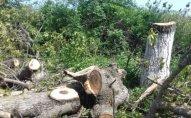 Qanunsuz ağac kəsilməsi ilə bağlı toplanmış sənədlər prokurorluğa göndərildi