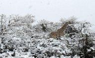 Cənubi Afrikada güclü qar yağıb - FOTO