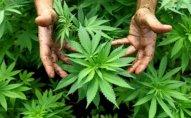 Ağdaşda 1 tona yaxın narkotik məhv edilib
