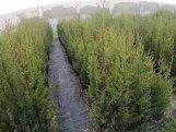 Müşfiqabadda 5 mindən çox ağacın əkilməsinə başlanılıb
