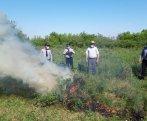 Azərbaycanda 2 hektar sahədə 1 ton narkotik bitki aşkarlandı