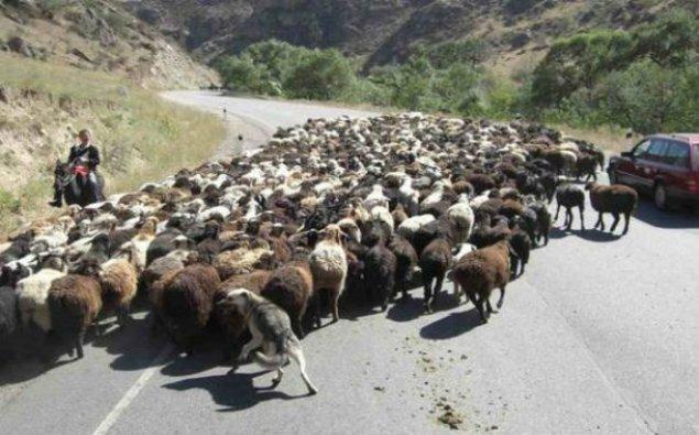 Çobanı və qoyun sürüsünü avtomobil vurub, 57 heyvan tələf olub