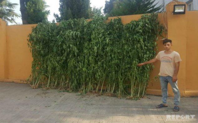 Astara sakinindən 125 kiloqram narkotik bitki götürülüb