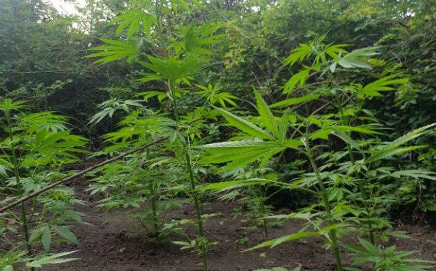 Meşədə narkotik bitkilər becərən İsmayıllı sakini saxlanılıb