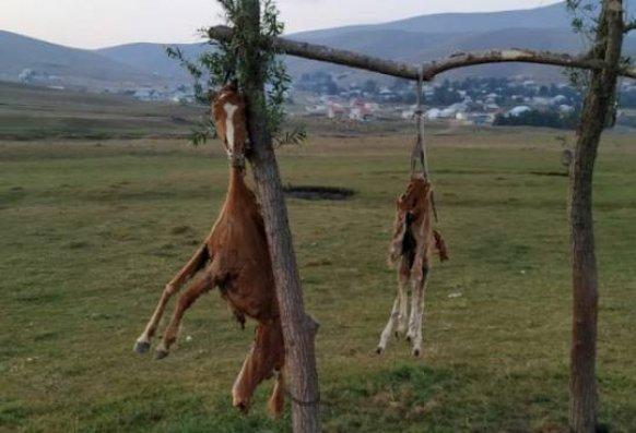 Daşkəsəndə atları öldürərək dirəkdən asan şəxsə cinayət işi açılıb - FOTO